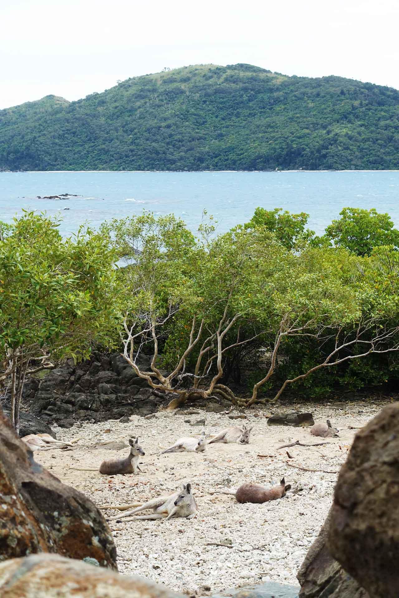 Kangaroos on Daydream Island