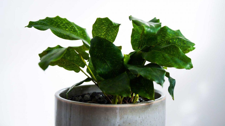 Indoor Plants - Calathea Musaica © Leonie Sii