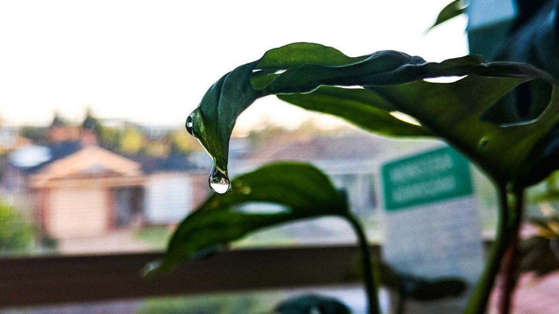 Indoor Plants - Monstera Adansonii © Leonie Sii