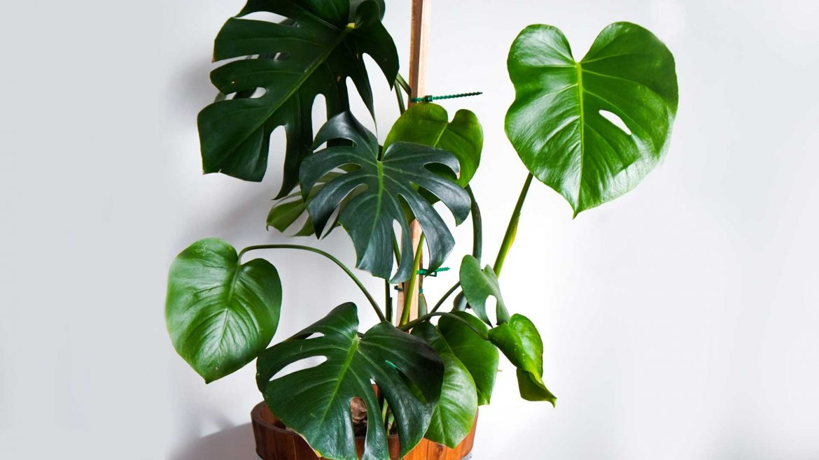 Indoor Plants - Monstera Deliciosa © Leonie Sii