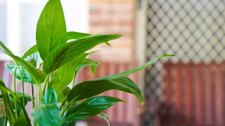 Indoor Plants - Peace Lily © Leonie Sii