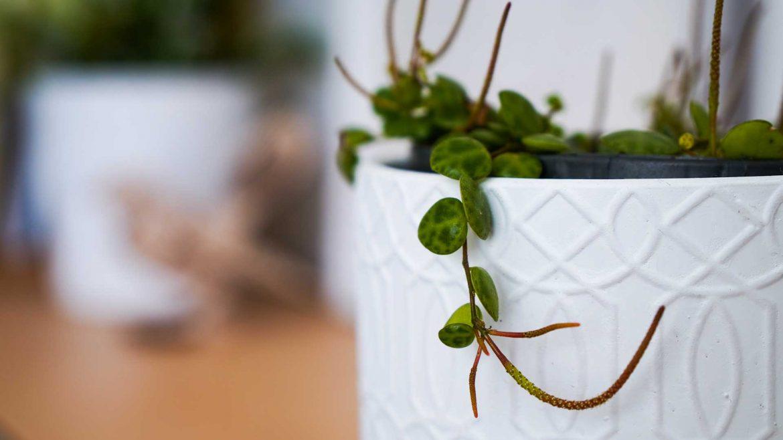 Indoor Plants - String of Turtles © Leonie Sii